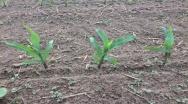 Siew kukurydzy w trudnych warunkach pogodowych